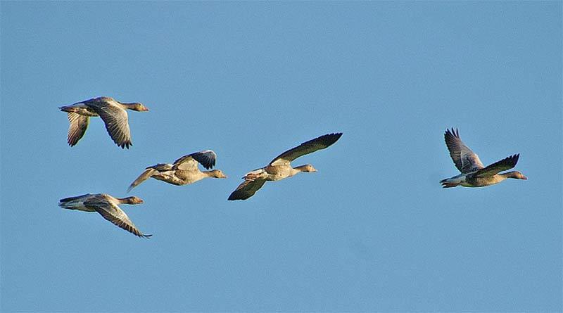 Changer de comportement au cours des saisons : la migration