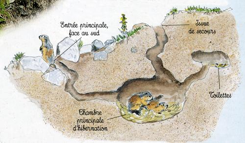 Terrier de marmottes