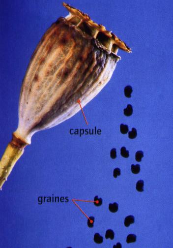 grainecoquelicot