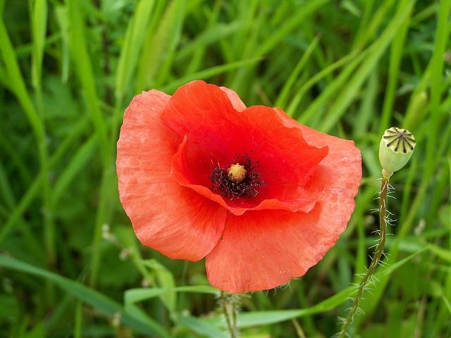red-poppy-1503184_640