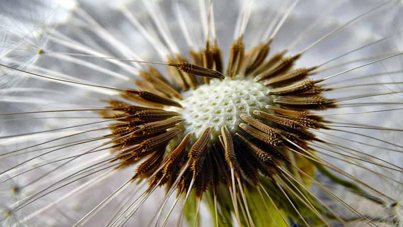 La dissémination des graines…